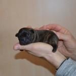 franse bulldog, franse bulldog vaccineren, franse bulldog pup, franse bulldog gestroomd