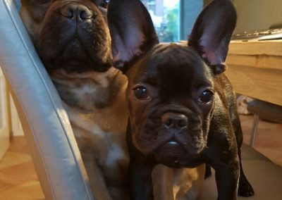 franse bulldog, franse bulldog pups, franse bulldog pups te koop, french bulldog, french bulldog breeder the Netherlands