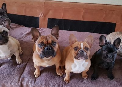 franse bulldog, franse bulldog pups, french bulldog, fci breeder french bulldog then netherlands, fci breeder french bulldogs Europe, franse bulletjes