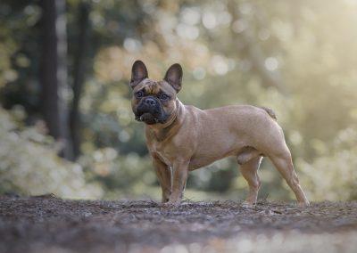 franse bulldog, franse bulldog pups, franse buldog, franse buldog pups met stamboom, franse bulldog puppie
