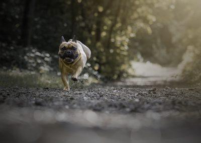 franse bulldog rennen