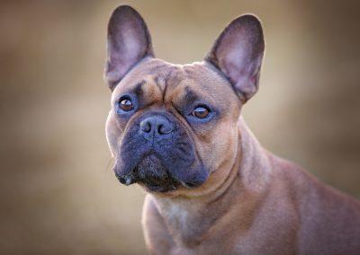 franse bulldog, franse bulldog dekreu, french bulldog breeding dog fci, french bulldog stud, franse bulldog reu, franse bulldog nestje fokken, gezonde franse bulldog