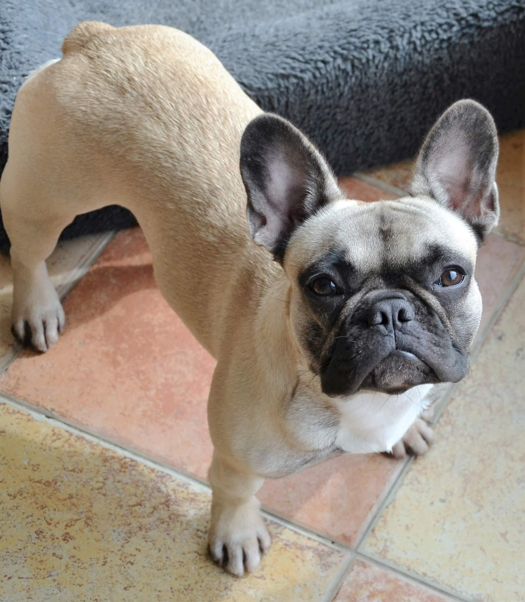 franse bulldog pups te koop | franse bulldog kennel van de loveboat
