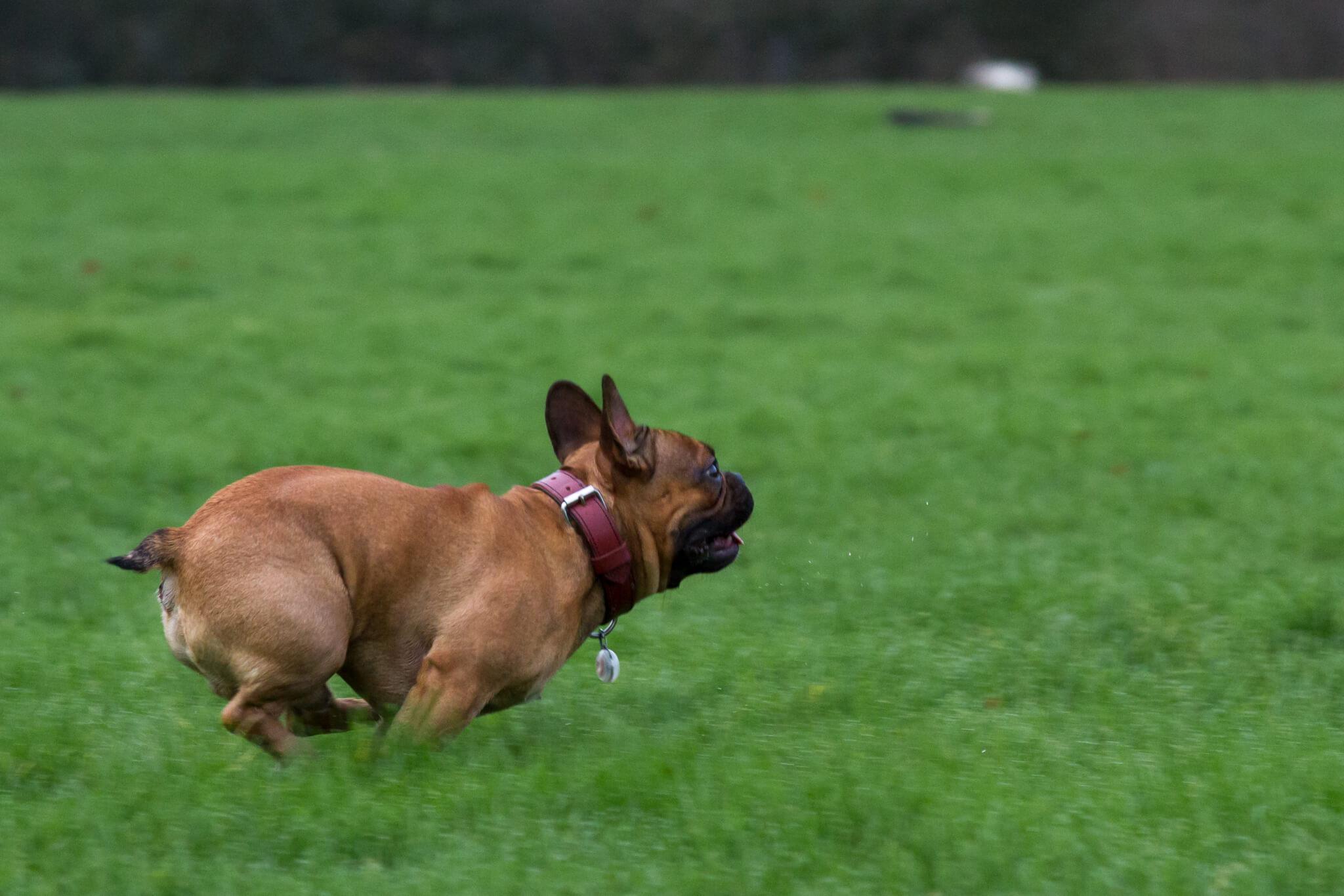 Franse bulldog dekreu