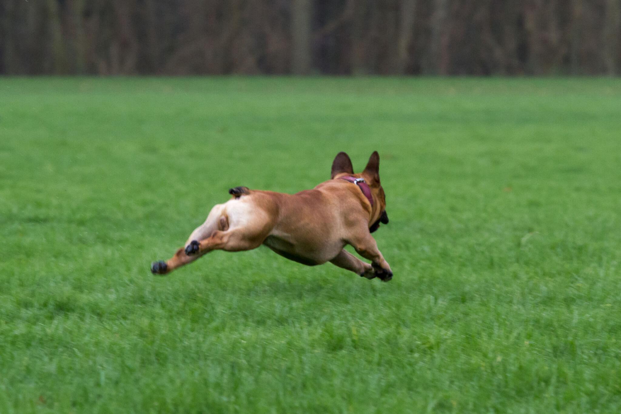 Franse Bulldog Marley