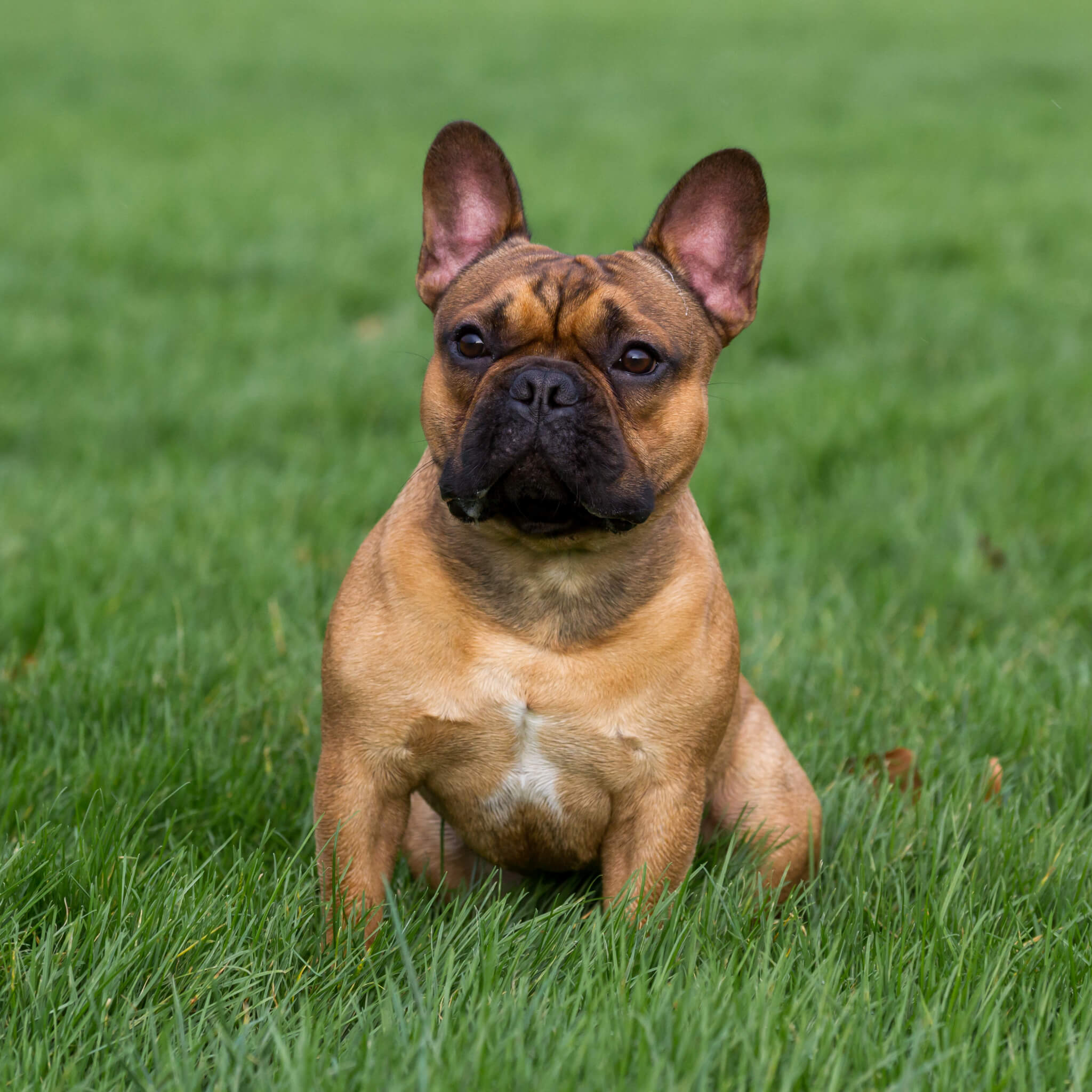Franse Bulldog dekreu Marley