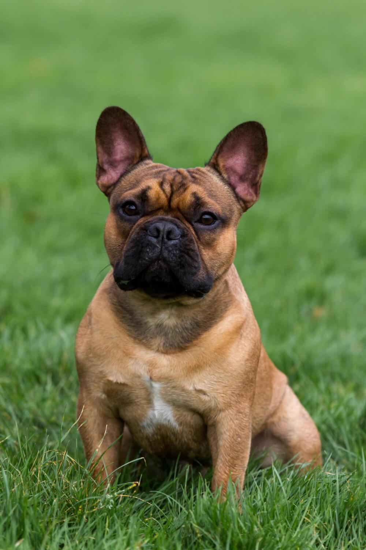 Knappe Marley, onze Franse Bulldog dekreu
