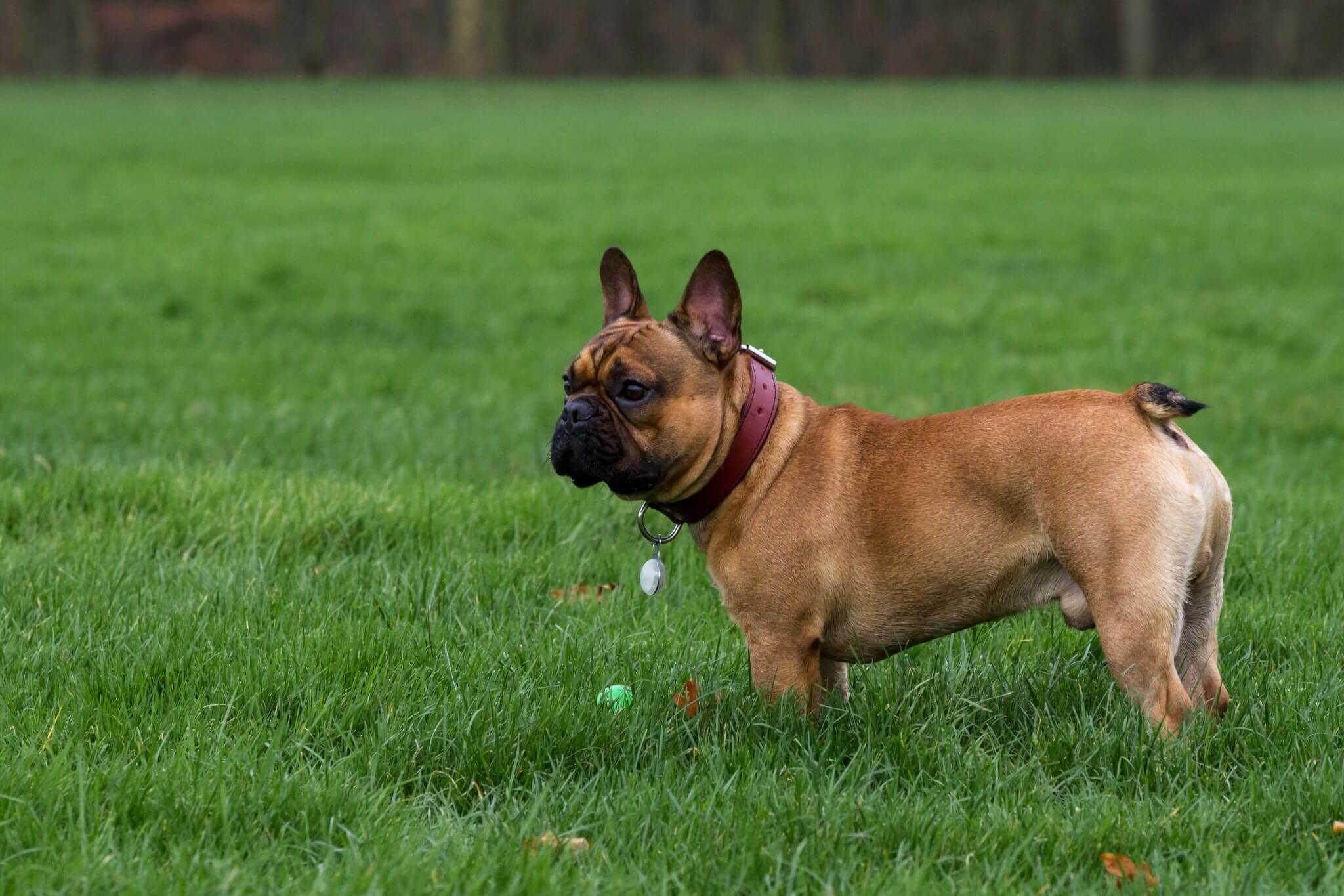 Franse Bulldog dekreu, redfawn