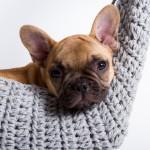 Tiny Tyke van de Loveboat, A-nest Franse Bulldog pup