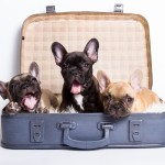 franse bulldog puppy's