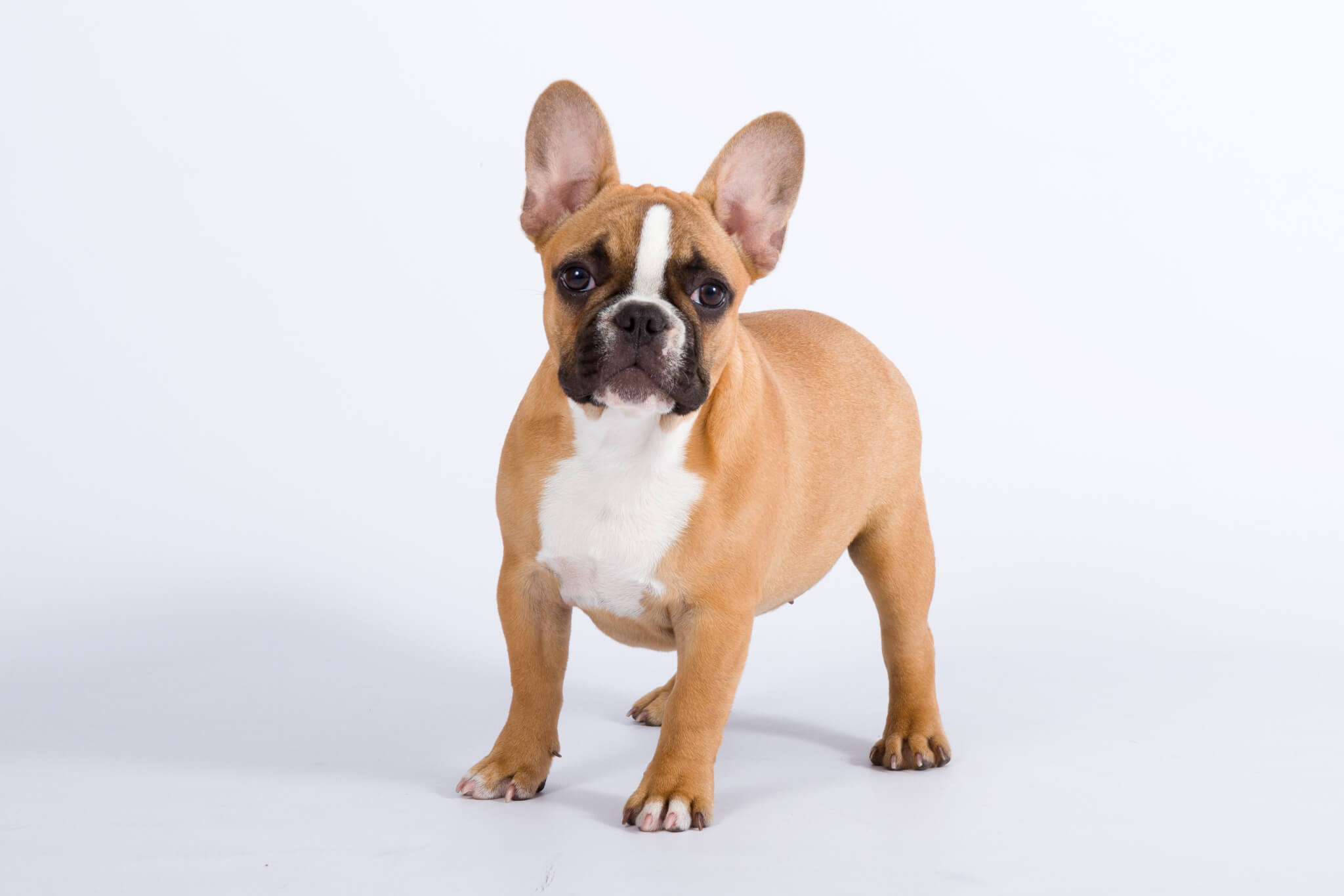 Franse Bulldog redfawn