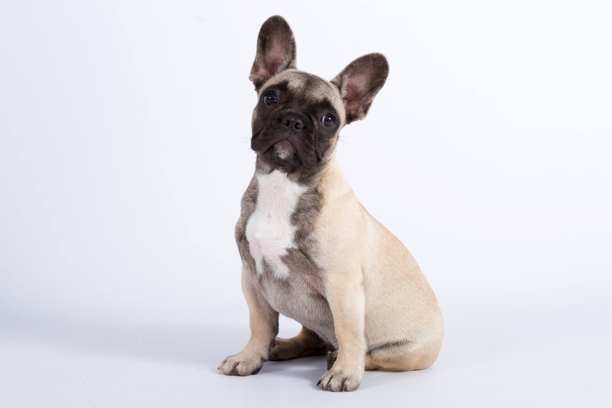 French Bulldog light fawn with dark mask
