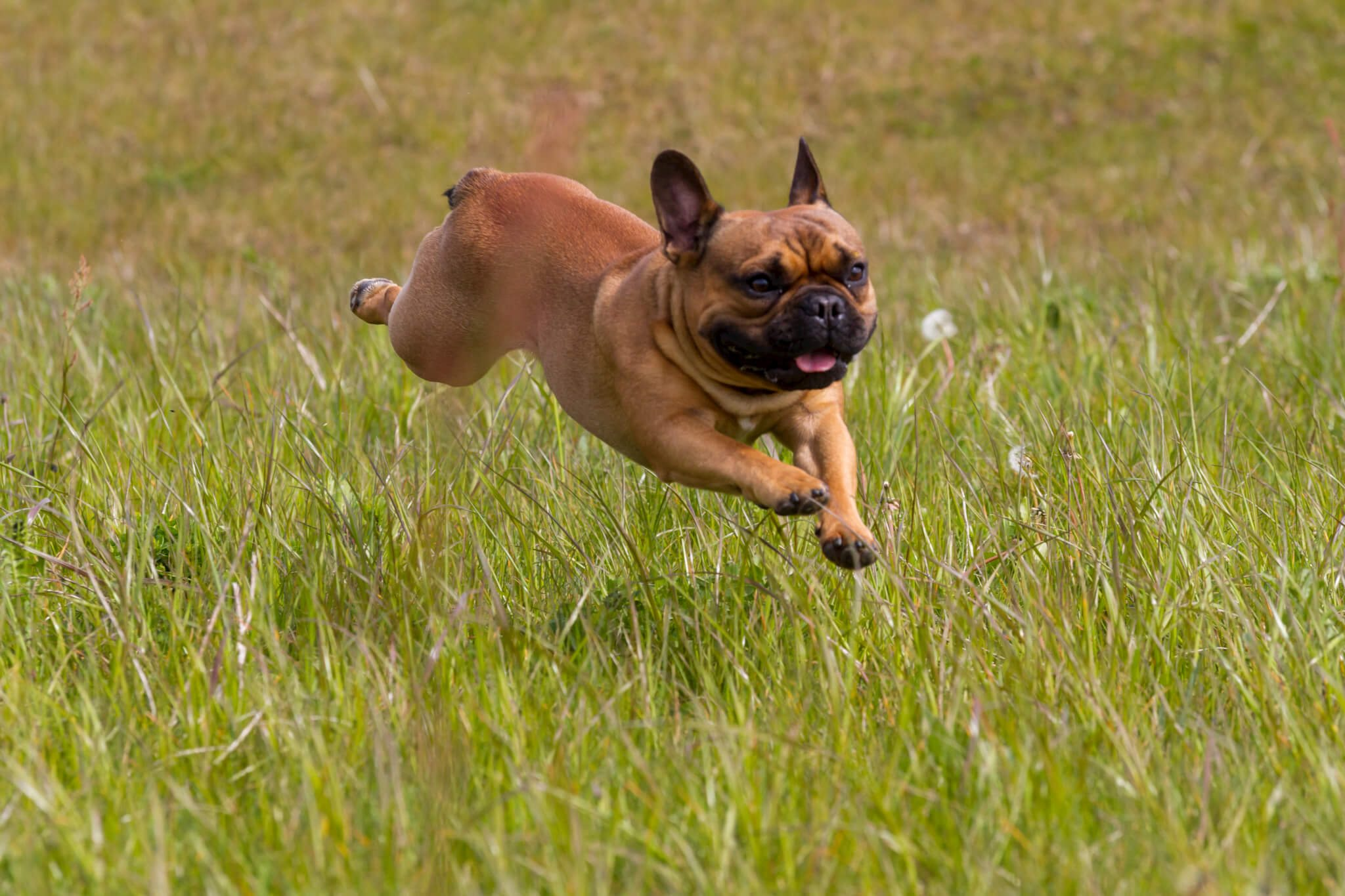 gezonde franse bulldog dekreu