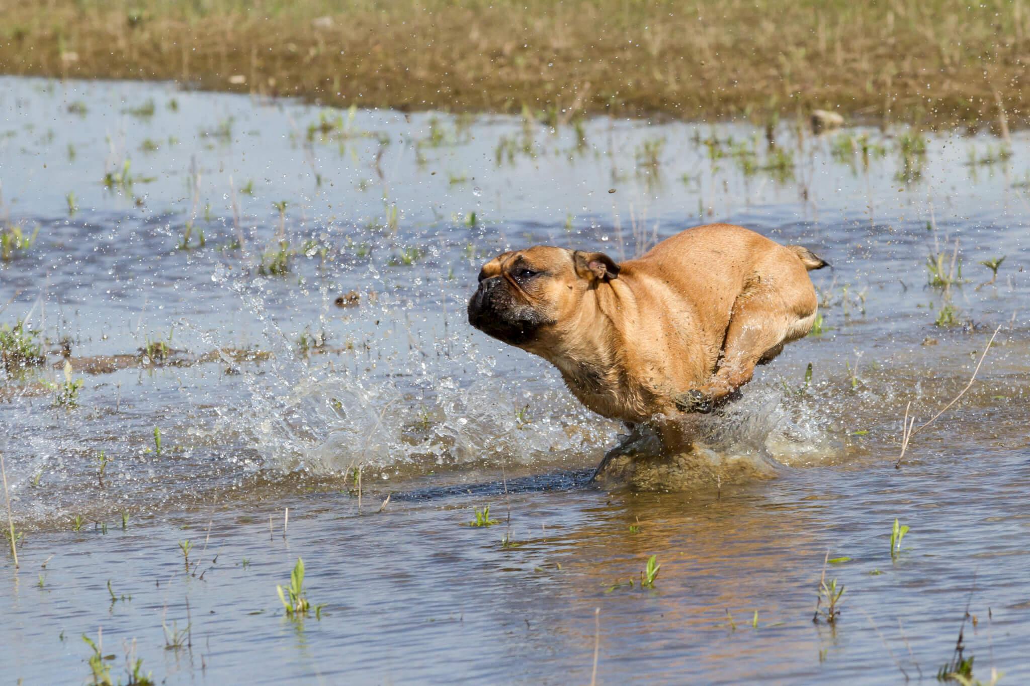 franse bulldog in het water