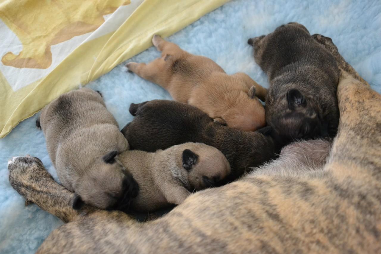 Engels Fairfok | French Bulldog Kennel The LoveBoat