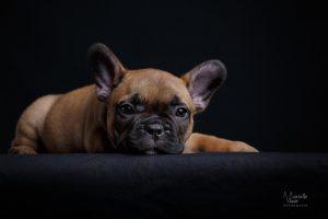 franse bulldog pups, franse bulldog nest, franse bulldog thuisnestje, franse bulldog van particulier, blauwe franse bulldog, franse bulldog met stamboom