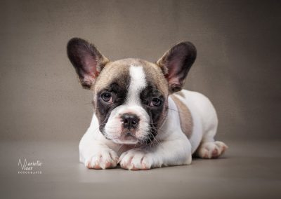 franse bulldog fawn bont