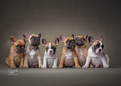 Franse Bulldogs van de Love Boat