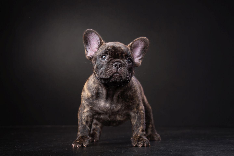 French Bulldog redfawn