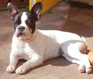 franse bulldog met langere neus, franse bulldog Nellie, franse bulldog sportief