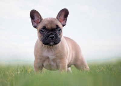 french bulldogs Netherlands, french bulldogs health tested parents, french bulldog breeder netherlands, french bulldog puppies holland, french bulldogs, franzosiche bulldogge niederlande