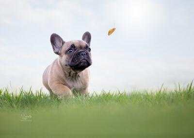franse bulldog pups, franse bulldog, franse bulldog thuisnestje, franse bulldog nestje, franse bulldog pups te koop, franse bulldog fokker