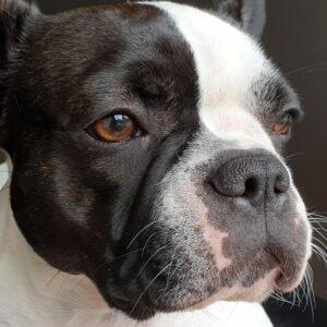franse bulldog met langere neus, franse bulldog fok verboden, kortsnuiten en de wet