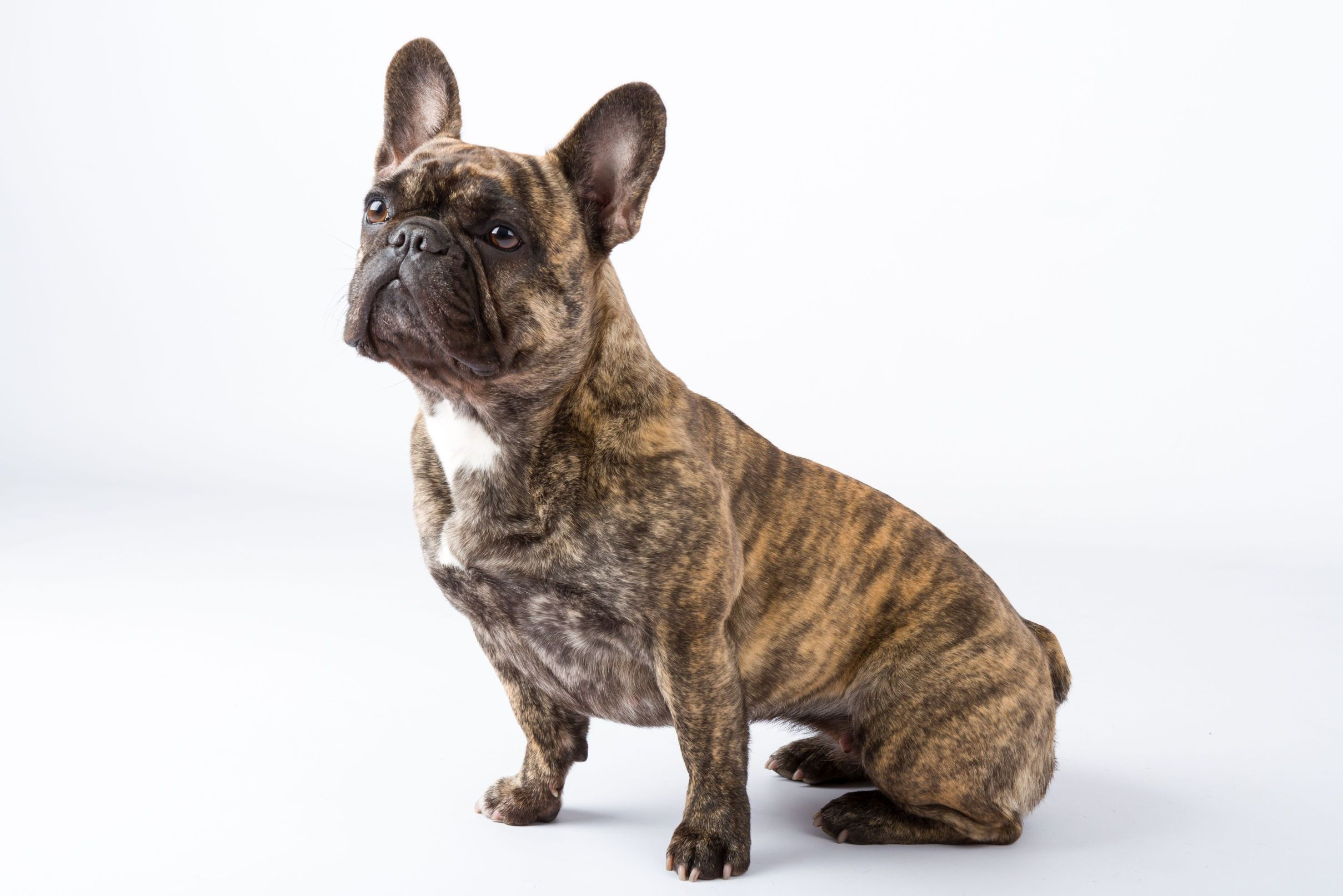 French Bulldog Fci Breeder The Netherlands French Bulldog Kennel