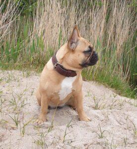 franse bulldog met langere neus, franse bulldog met langere snuit, franse bulldog gezond, franse bulldog fokker van gezonde pups
