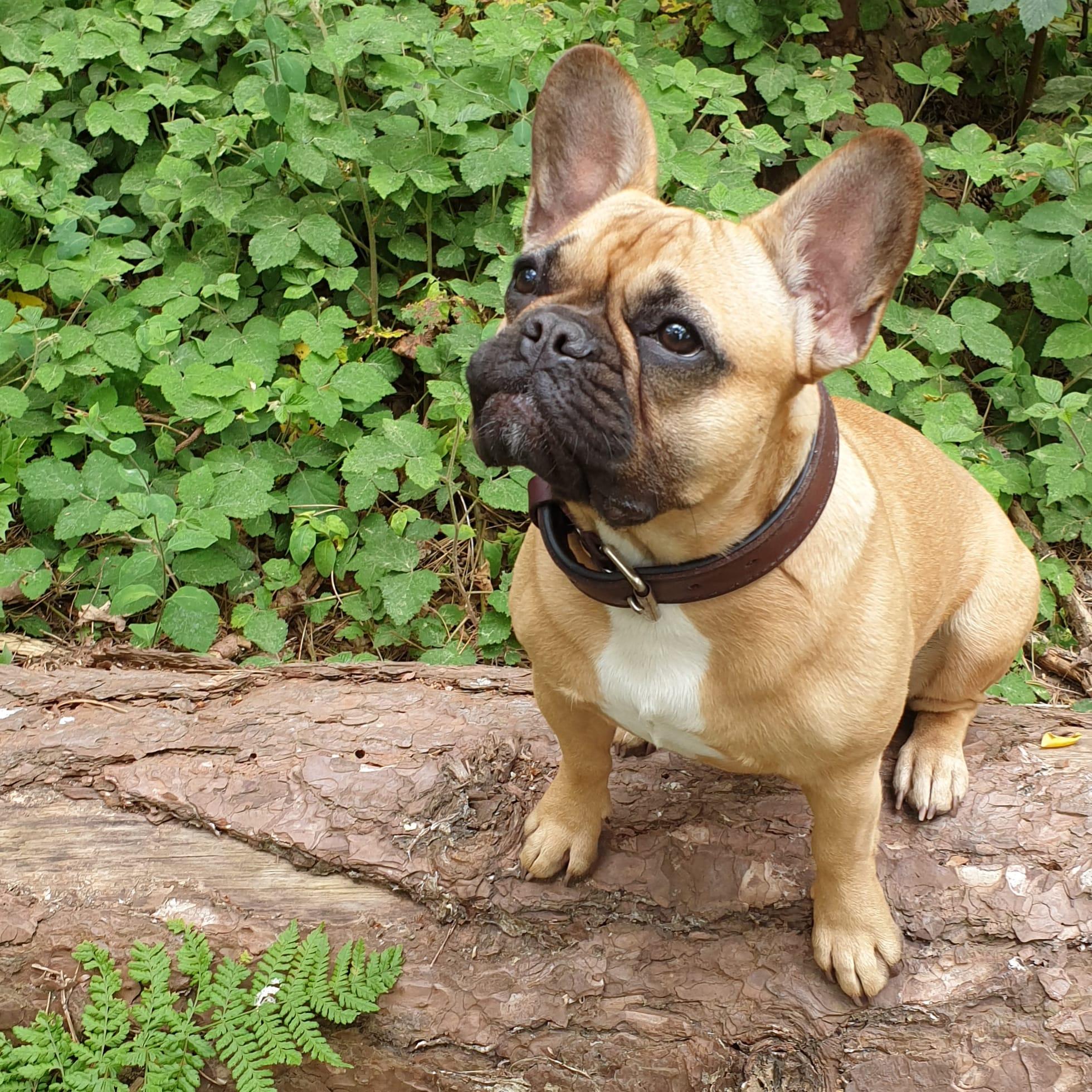 french bulldog breeder the netherlands, french bulldog with longer muzzle, healthy french bulldog, dutch french bulldog