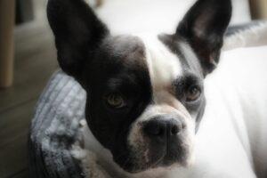 gefokt volgens de richtlijnen, franse bulldog met langere neus, verantwoorde fokker franse bulldogs,french bulldog longer muzzle, french bulldog the netherlands, french bulldog the loveboat, healthy french bulldog, franzosiche bulldogge niederlande, franzosiche bulldogge deckrude holland, franzosische bulldogge fci rude, deckrude fci