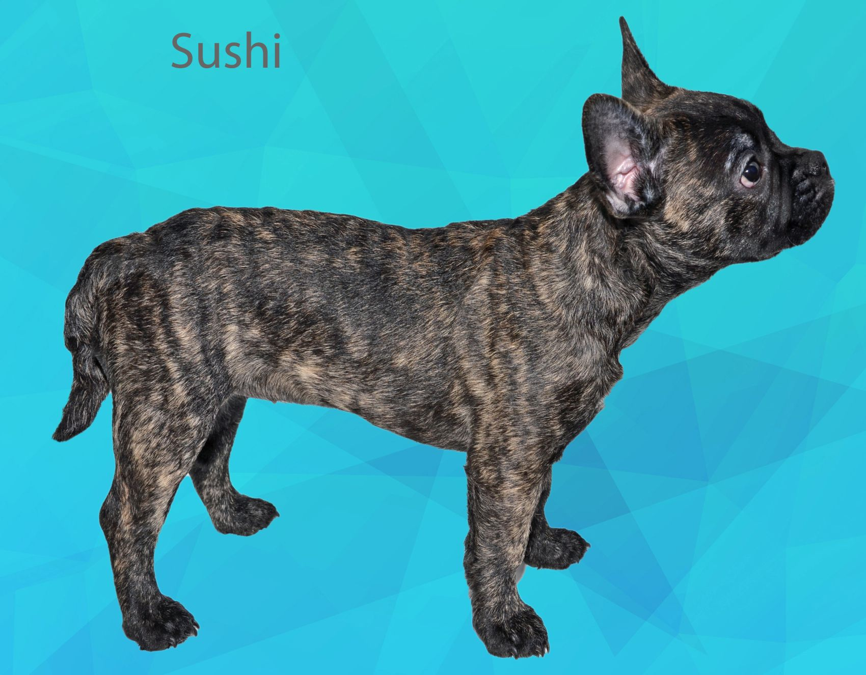 Sushi, franse bulldog met langere neus, franse bulldog met langere snuit, gezonde franse bulldog, franse bulldog met lange staart